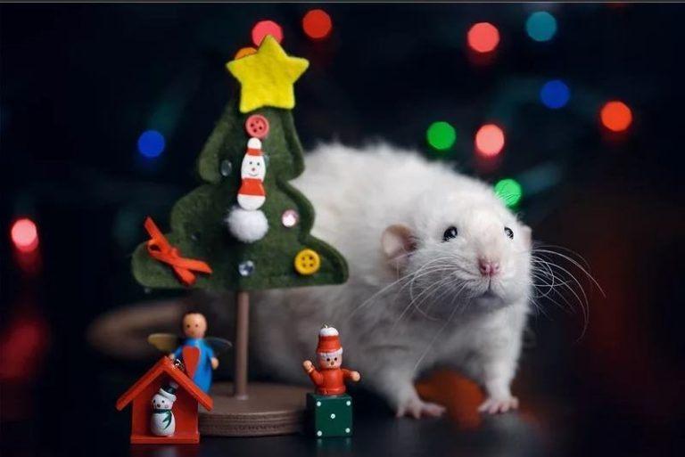 По китайскому календарю год Крысы наступит только 25 января