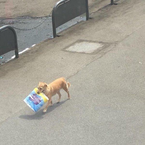 Собака с упаковкой туалетной бумаги