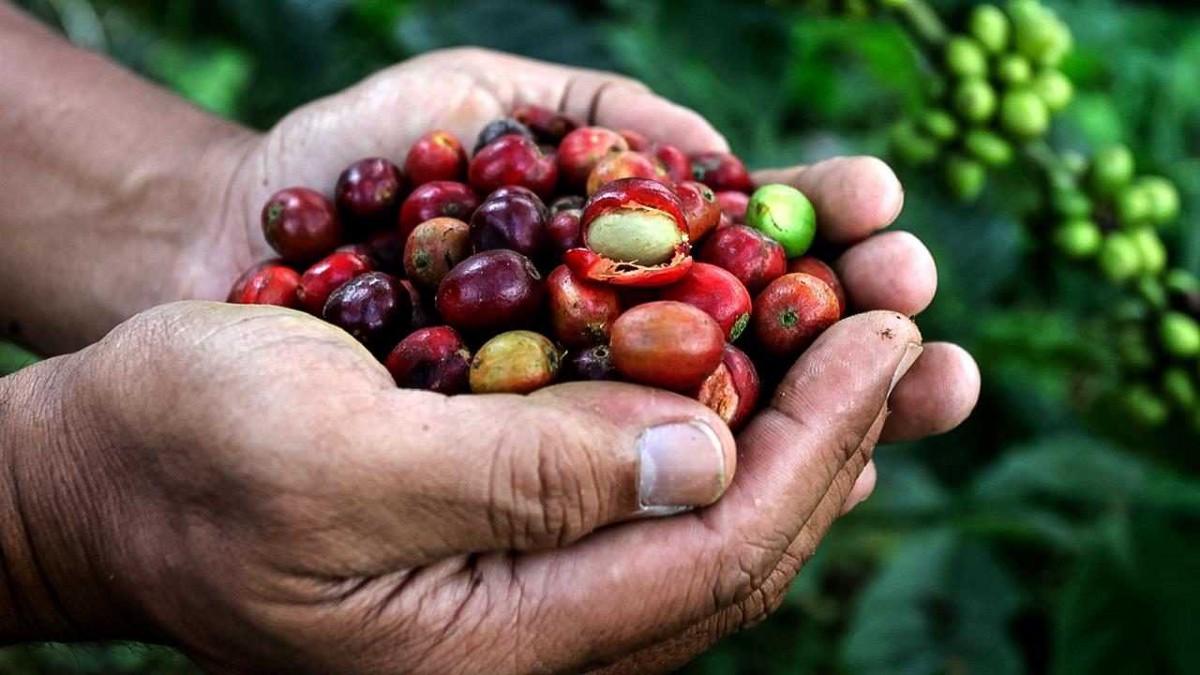 Зерна свежего кофе