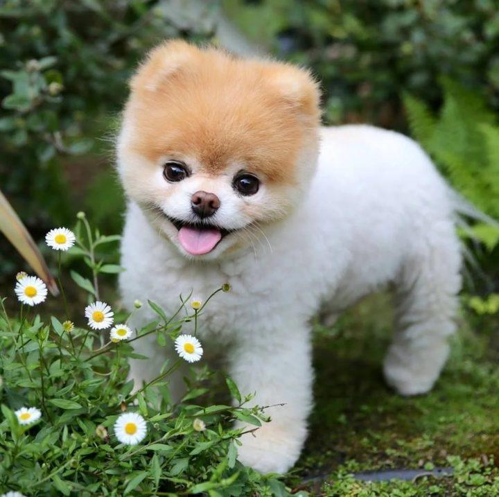Собака Малыш Буу