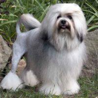 Любимец на миллион — 7 самых дорогих пород собак в мире в 2020 году