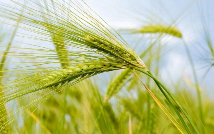 А вы знали, что эти 13 круп сделаны из пшеницы?